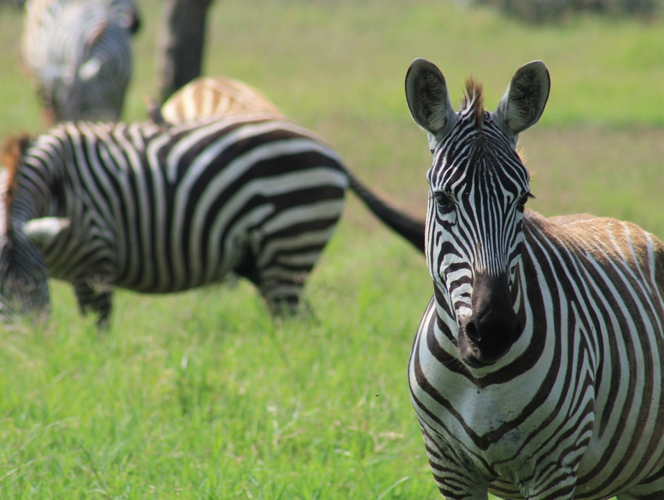 Incredible Up-Close Encounters With Wildlife Nakuru  Kenya