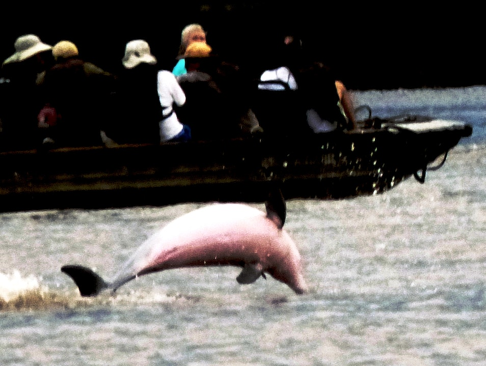 The Amazon's Magical Pink Dolphins Loreto  Peru