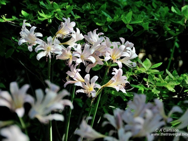 Surprising Lilies