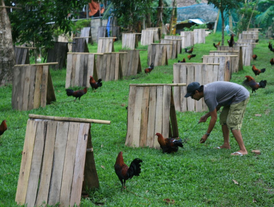 COCK FIGHTING Gumaca  Philippines