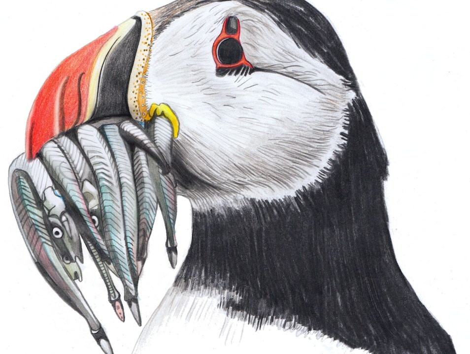 Puffins on Mingulay, the Outer Hebrides lesser known Puffin colony