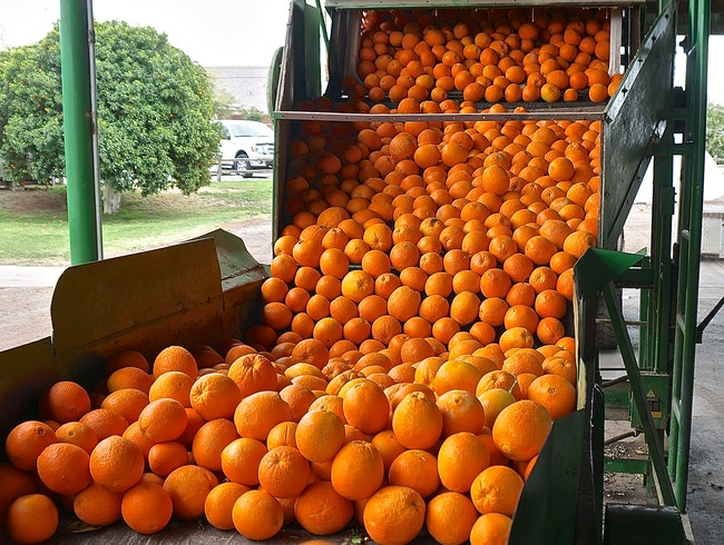 Sorting navel oranges