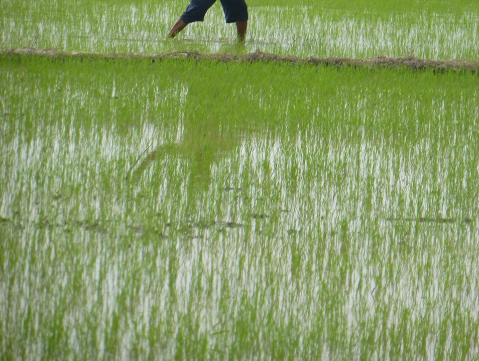 Seeding the Rice Field (by hand???) Can Tho  Vietnam