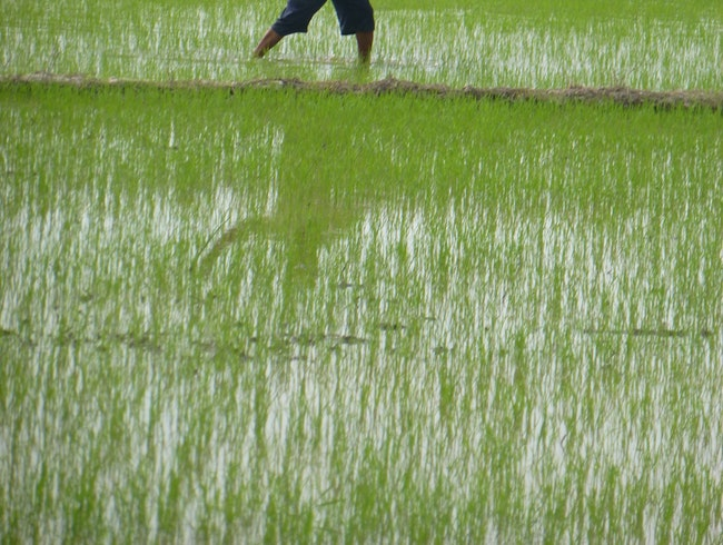 Seeding the Rice Field (by hand???)