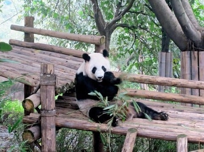 Panda Sanctuary Chengdu  China