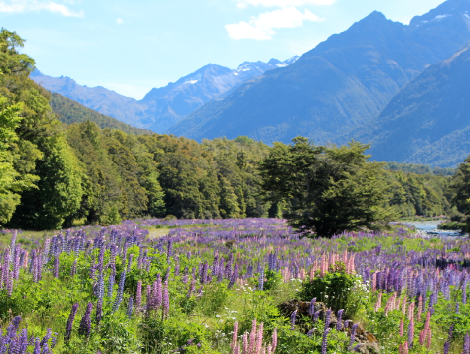 Walk among Lupines in the Eglinton Valley