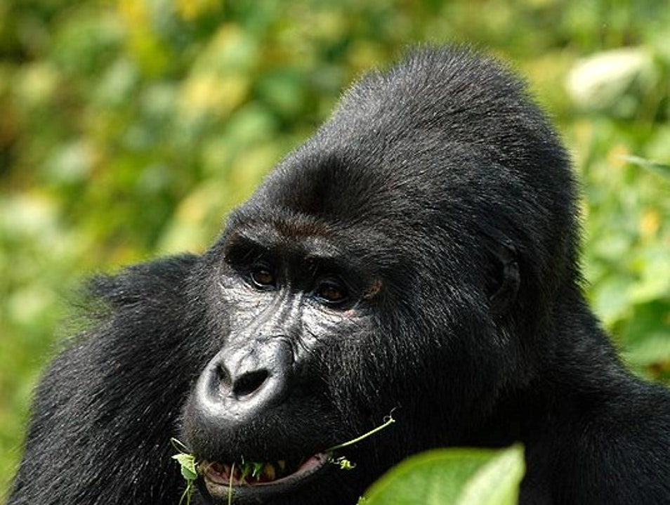 Discounted Uganda mountain gorilla permits for the green season Bufumbira  Uganda