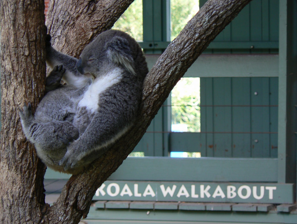 This is Sydney:  Koalas at Taronga Zoo Sydney  Australia
