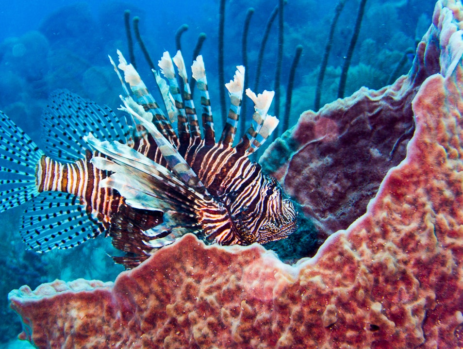The Wrath of the Lion Fish    Belize