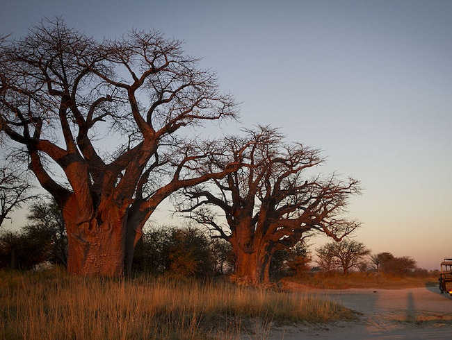 Baines' Baobabs in Nxai Pan National Park
