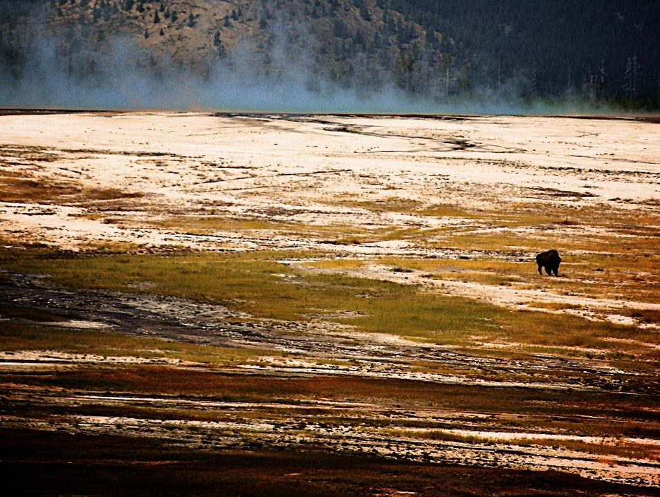 Solo Bison in Hayden Valley Yellowstone National Park Wyoming United States