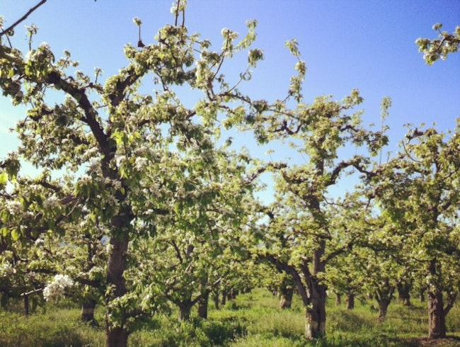 Canada's Best Produce: Cherry Trees in the Okanagan