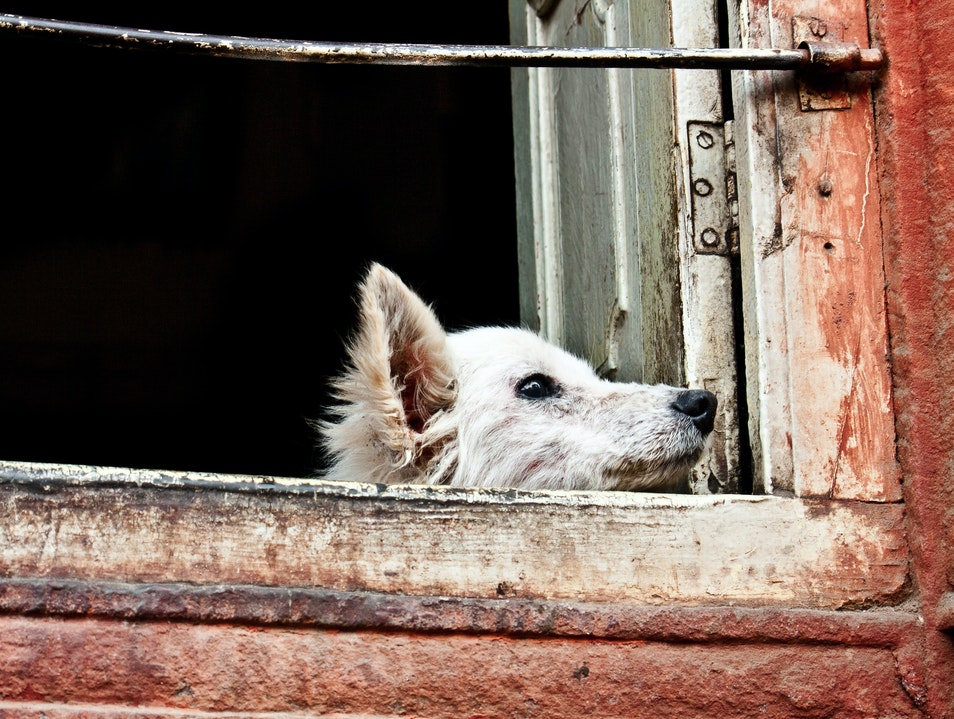 Dog on a window sill  Jaipur  India