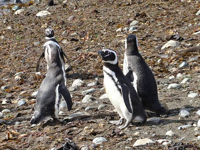 Puñihuil Penguin Colony Ancud  Chile