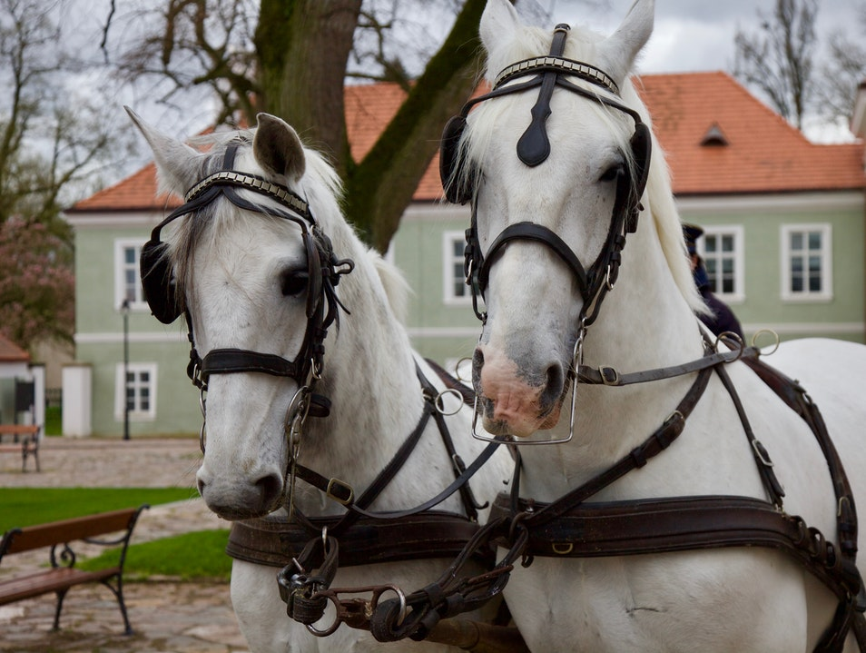 Horsing around with royalty at the Czech National Stud  Kladruby Nad Labem  Czechia