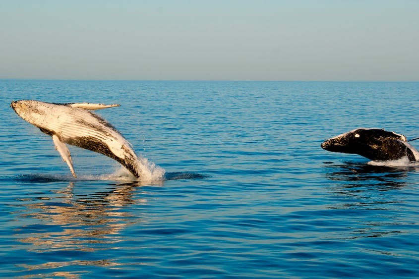 Whale sharks, humpback whales, and dolphins make their home among the 185 miles of Ningaloo Reef.