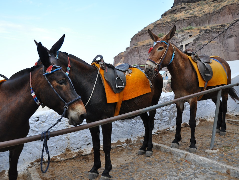 Grecian Donkeys Thira  Greece