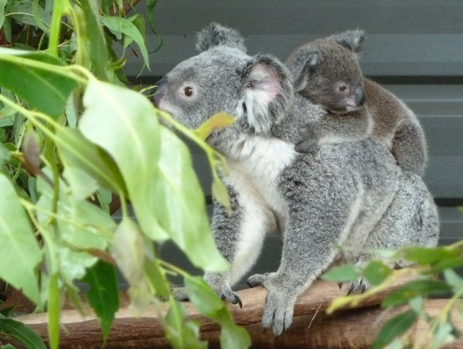 Koala Hugs at Lone Pine Fig Tree Pocket  Australia