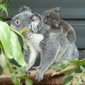 Lone Pine Koala Sanctuary Fig Tree Pocket  Australia