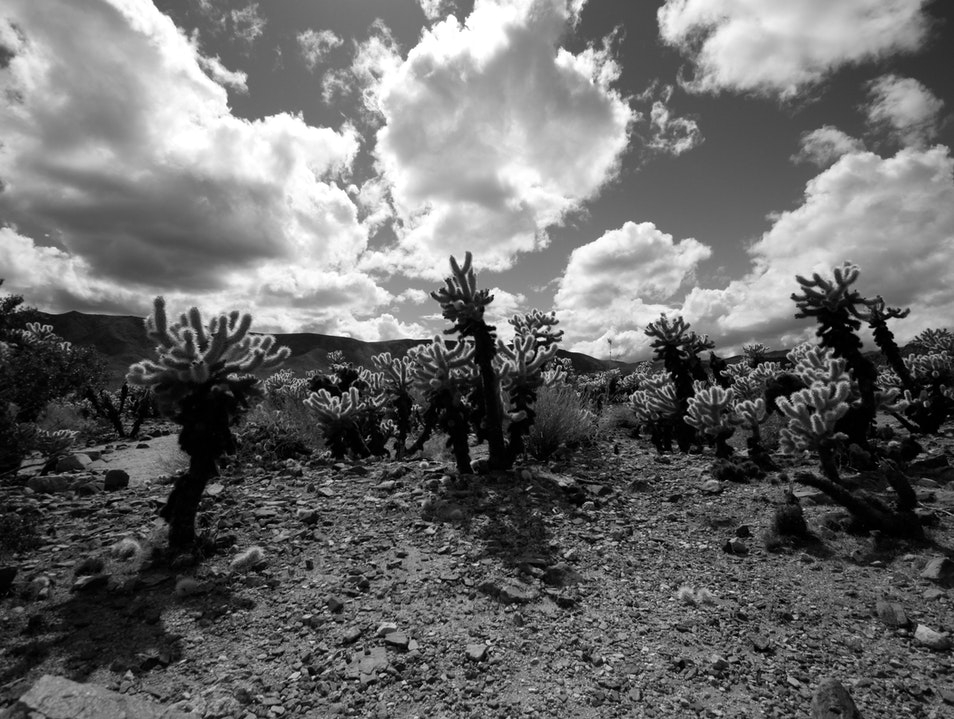 Cholla Cactus Riverside County California United States