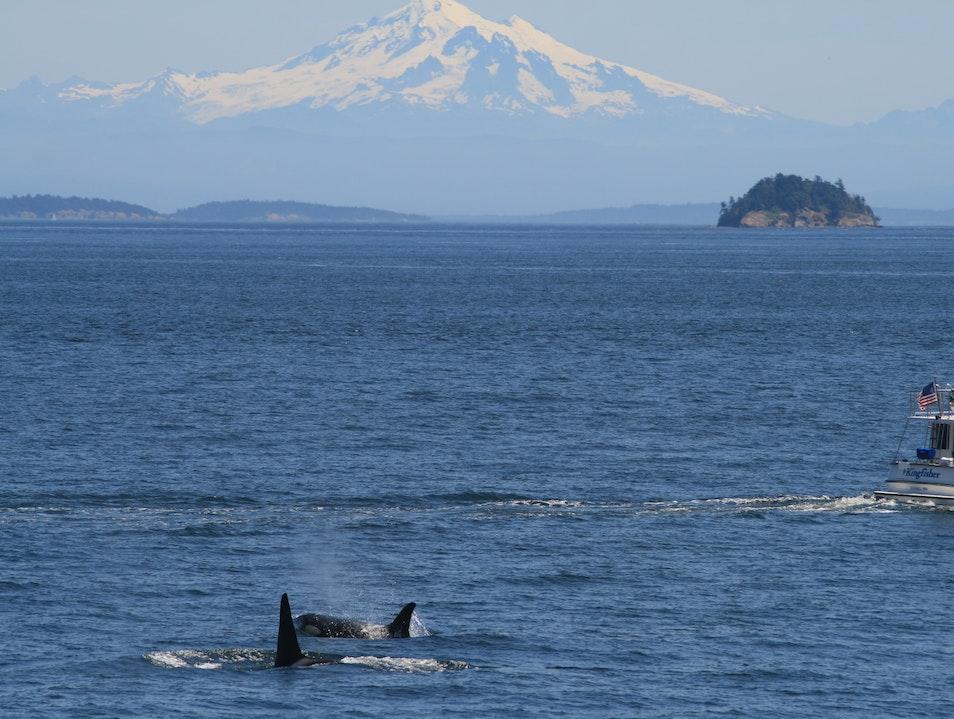 Whale Watching in the San Juans Eastsound Washington United States