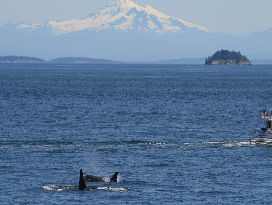 Whale Watching in the San Juans Shaw Island Washington United States