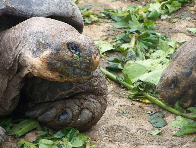 Walking with Turtles in the Galapagos