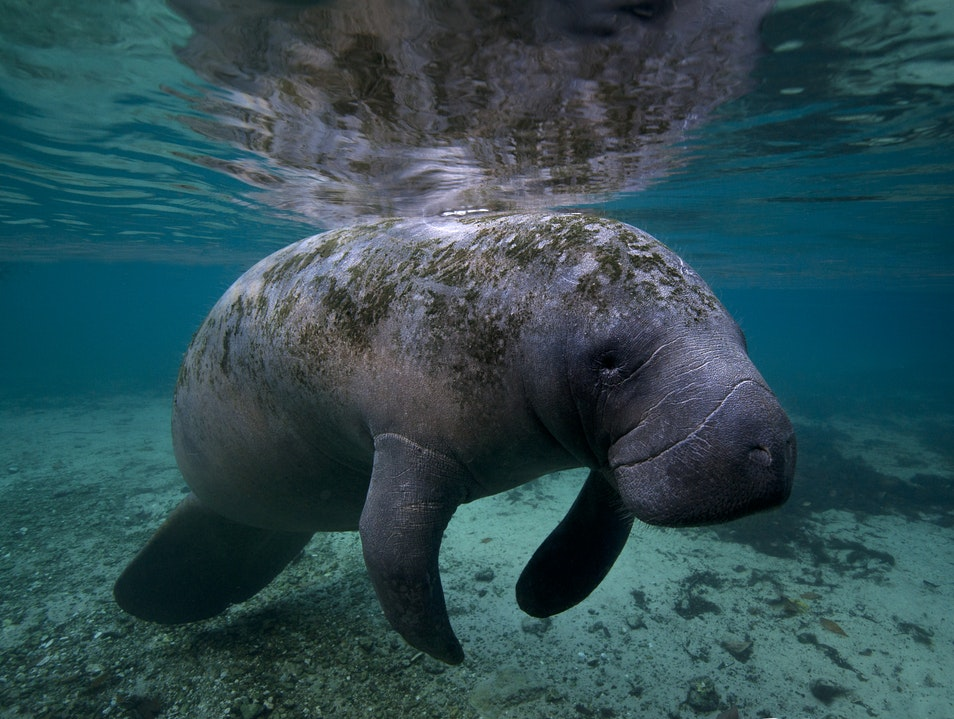 Manatees Fort Myers Beach Florida United States