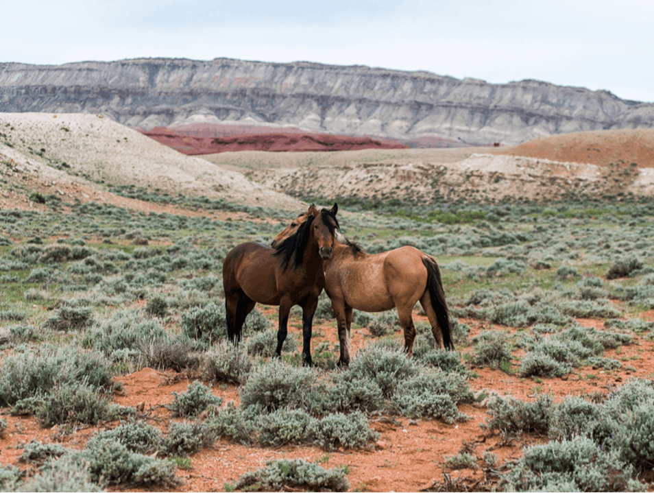 Wild Mustangs Lovell Wyoming United States