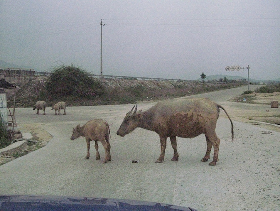 Cattle Crossing Lingshui  China