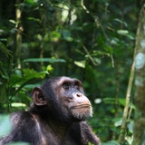 Kibale chimp habituation