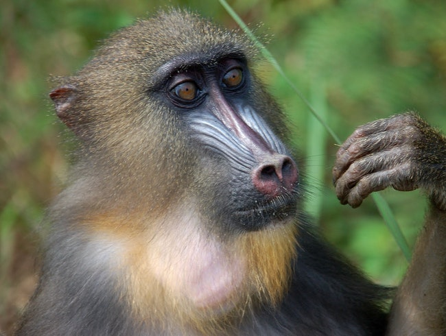 The Mandrills of Lekedi Park