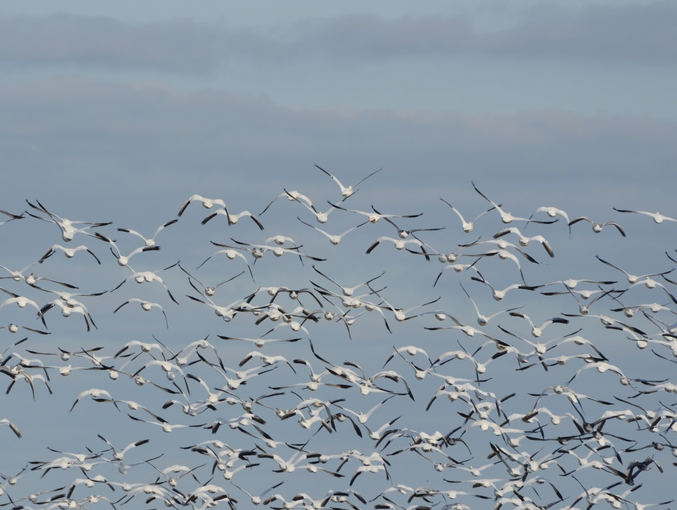 Chasing Snow Geese Chincoteague Island Virginia United States