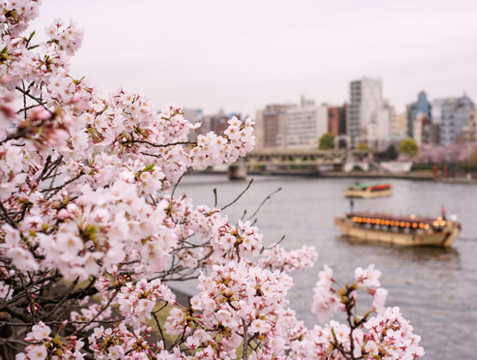 Cherry Blossoms along Tokyo's Sumida River