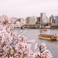 Original japan sakura2.jpg?1490018299?ixlib=rails 0.3