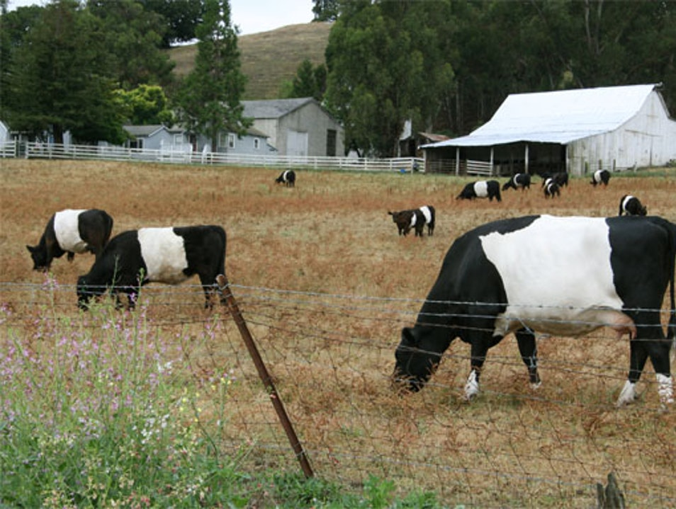 "The ""Oreo Cows"" of Napa Valley"