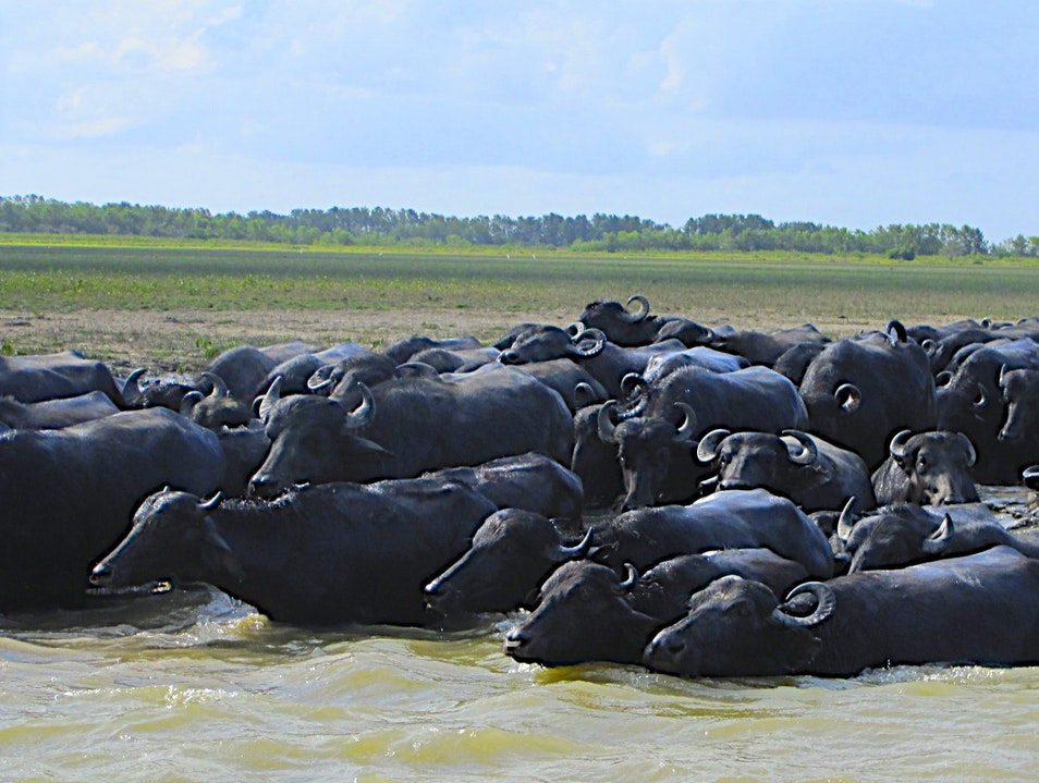 And So The Buffalo Swam To Marajo