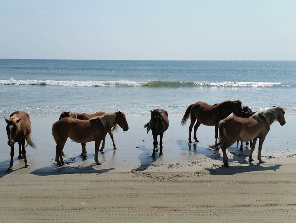 Wild Mustangs on the Outer Banks Carova Beach North Carolina United States