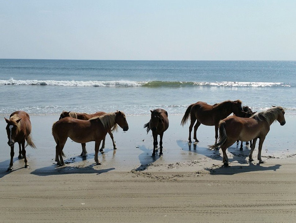 Wild Mustangs on the Outer Banks