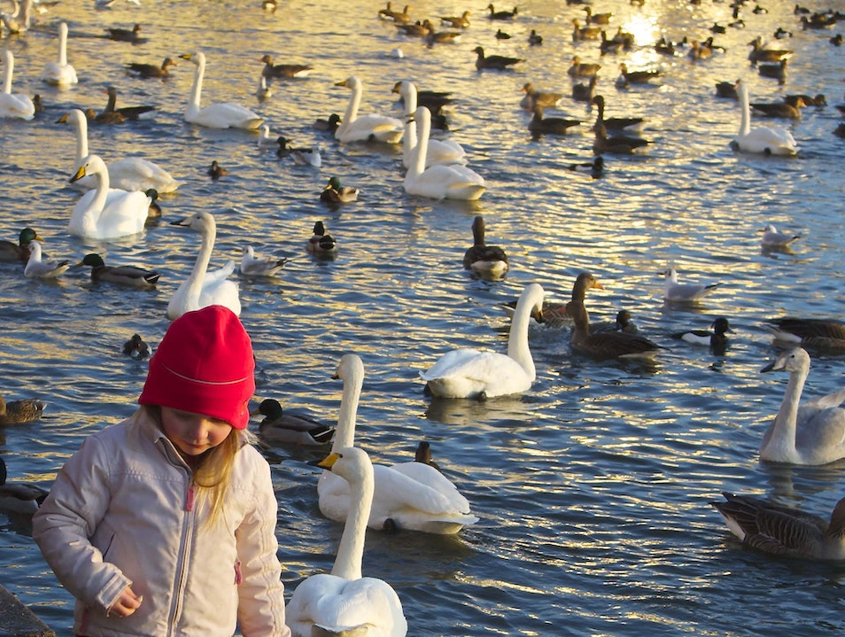 Feeding the Birds at Tjörnin Reykjavik  Iceland