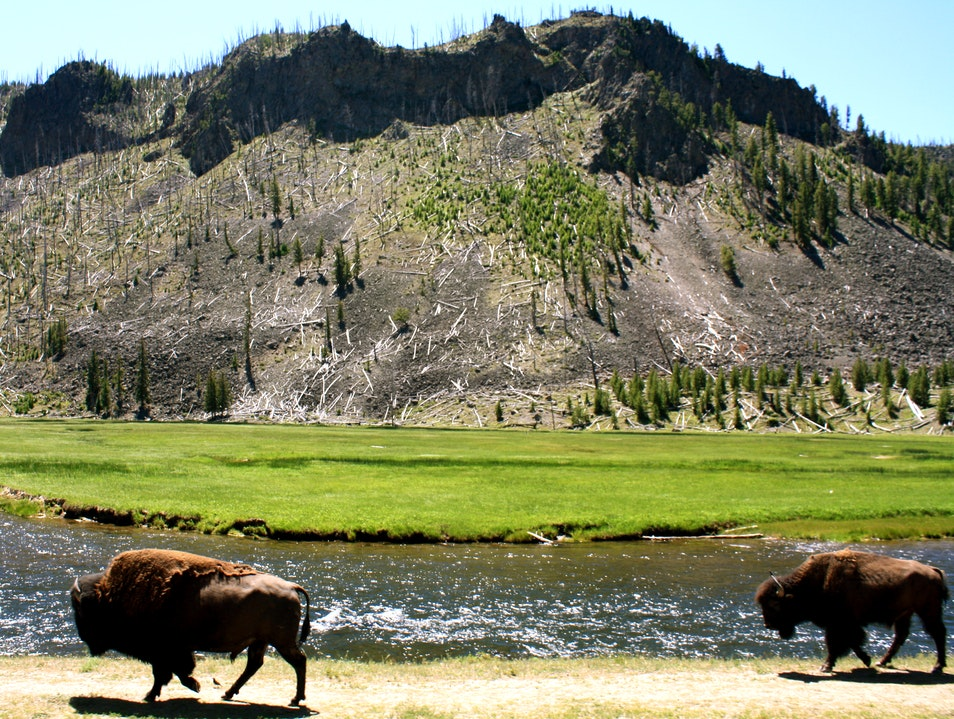 Roaming Bison of Yellowstone  Yellowstone National Park Wyoming United States