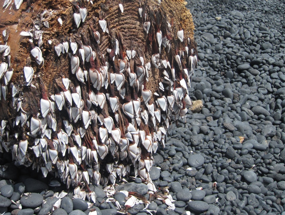 Barnacles at Black Sand Beach Hāna Hawaii United States