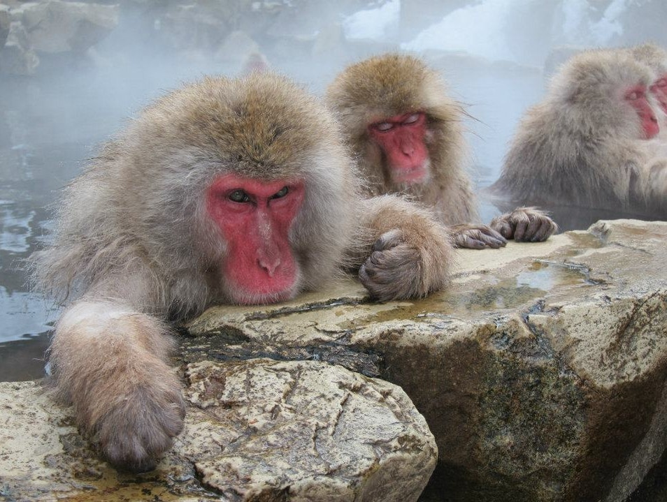 Japanese Snow Monkeys Yamanouchi  Japan