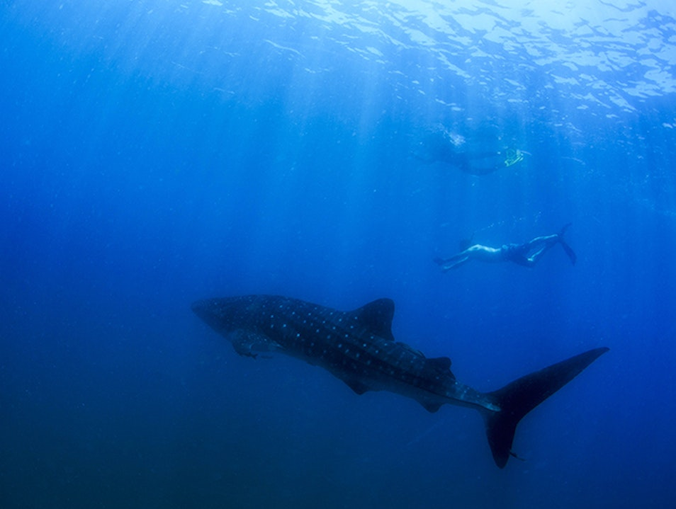 Swimming with Whale Sharks Cabo San Lucas  Mexico