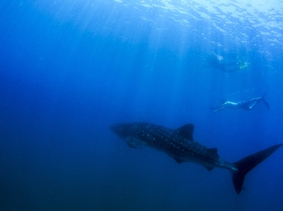 Snorkeling with Whale Sharks Cabo San Lucas  Mexico