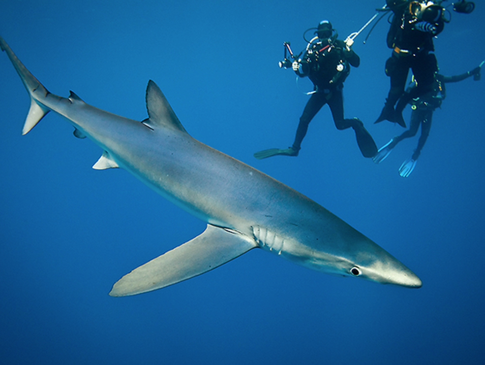 Don't sleep with, but dive with sharks in the Azores!