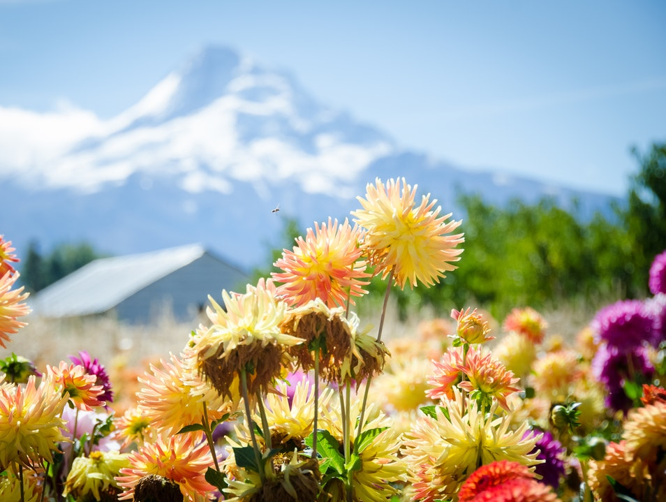 Eat a Delicious Apple in a Dahlia Garden Overlooking Mt. Hood Mount Hood Oregon United States