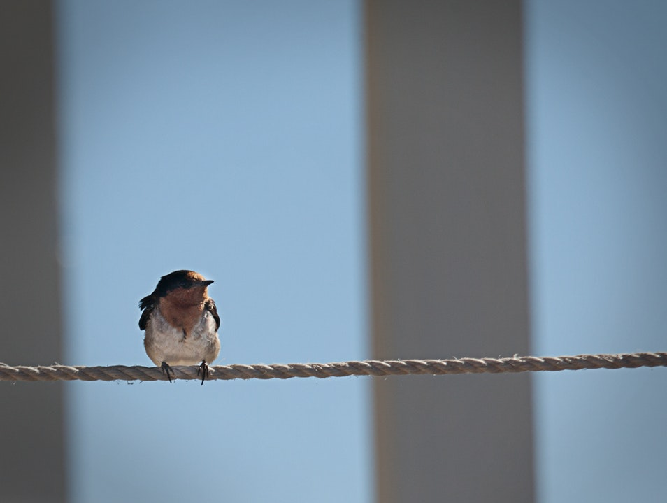 Bird on a Wire Cape Borda  Australia