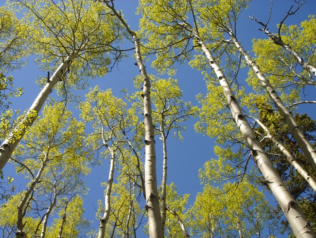 Hiking Through Aspens That Touch the Sky on Colorado's Continental Divide