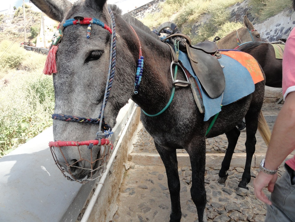 "The Donkey/Mule/Horse: ""Santorini's Hardest Worker"" Thira  Greece"